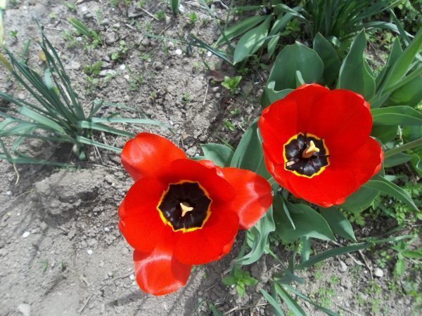 Тюльпаны Дарвиновы