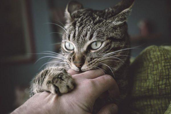 Кусающийся кот