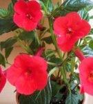 Ахименес ярко-красный