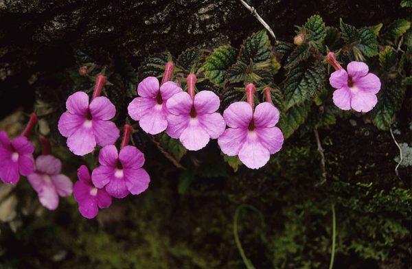 Ахименес в природе