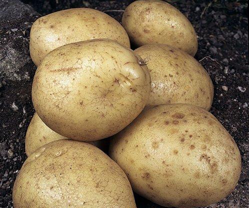 Клубни картофеля Сынок