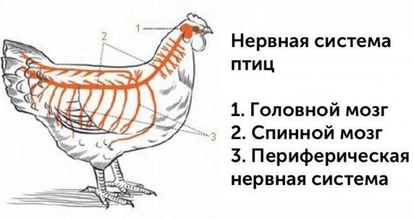 Спинной и головной мозг курицы