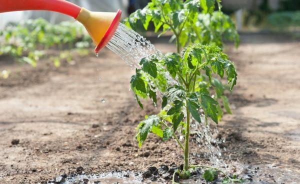 Обработка кустов томатов из лейки