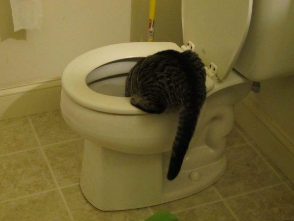 Кот пьёт из унитаза
