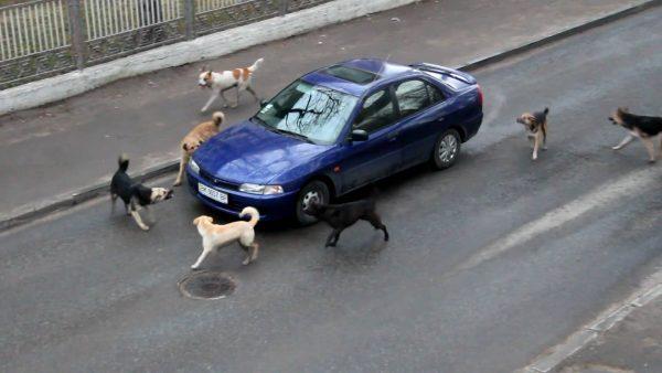 Стая собак облаивает машину