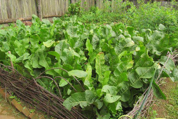 Кусты хрена в огороде