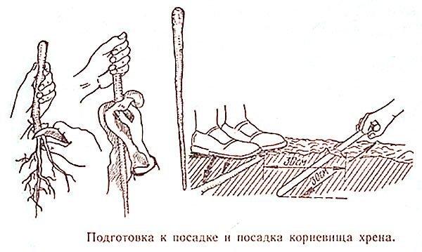 Схема высадки черенков хрена