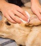Собаке чистят уши