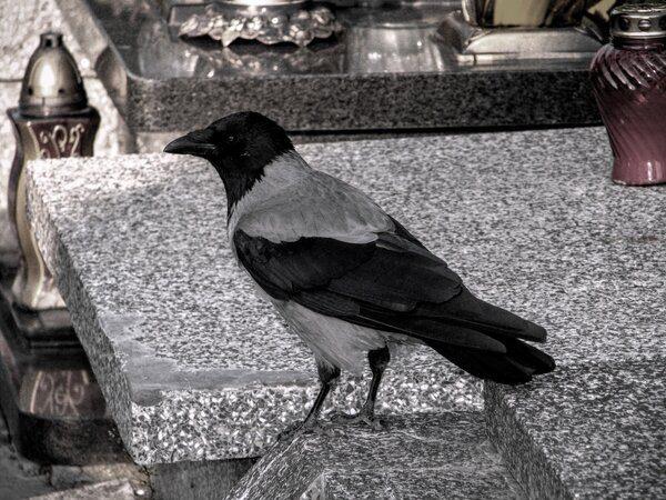 Ворона на могиле