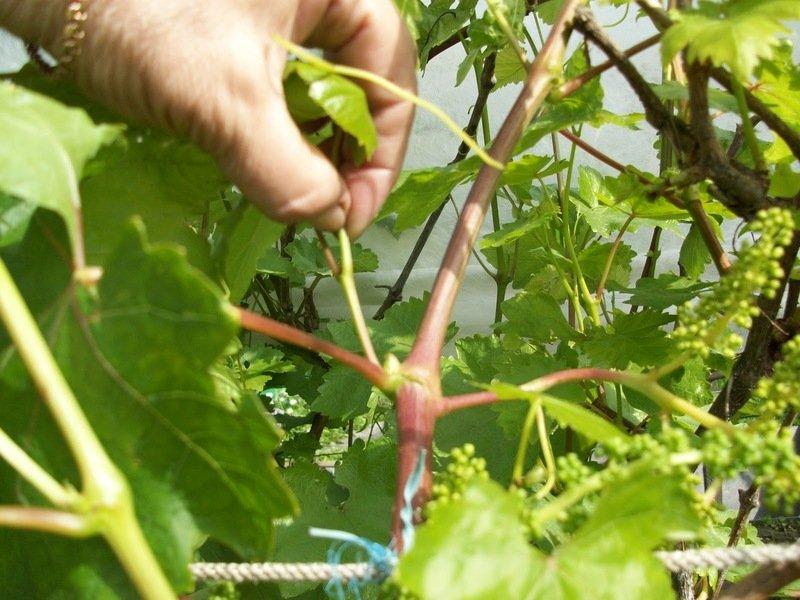 Пасынкование винограда в июне и июле как правильно удалять и обрезать