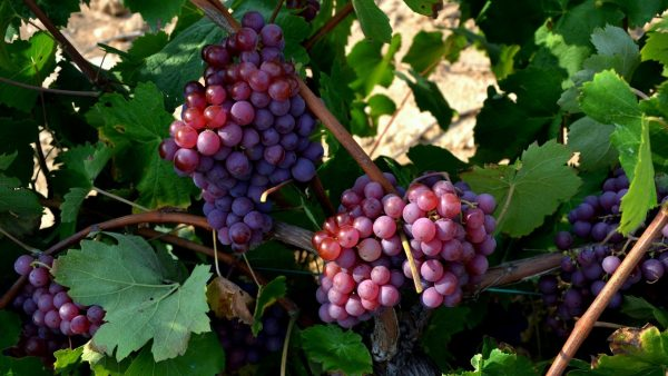 Урожай винограда на лозе