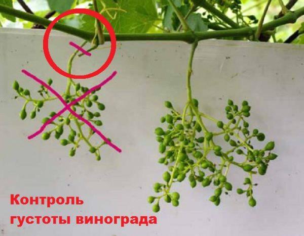 Прореживание кистей винограда