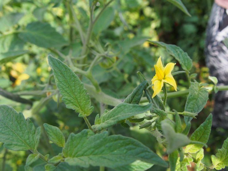 опрыскивание цветущие помидоры