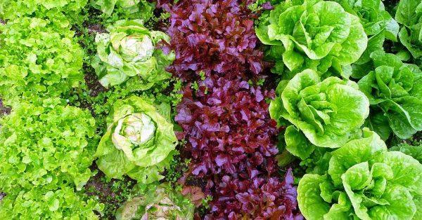 Разные сорта салата