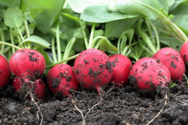 Собранный урожай редиса