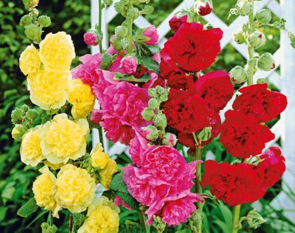 Цветущие шток-розы