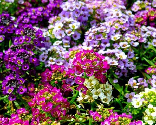 Цветущий алиссум