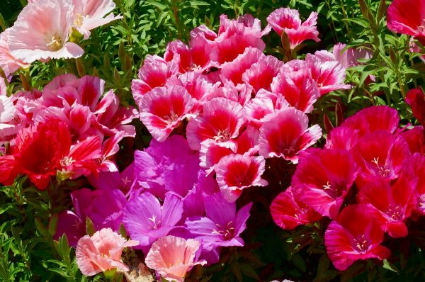 Цветы годеции