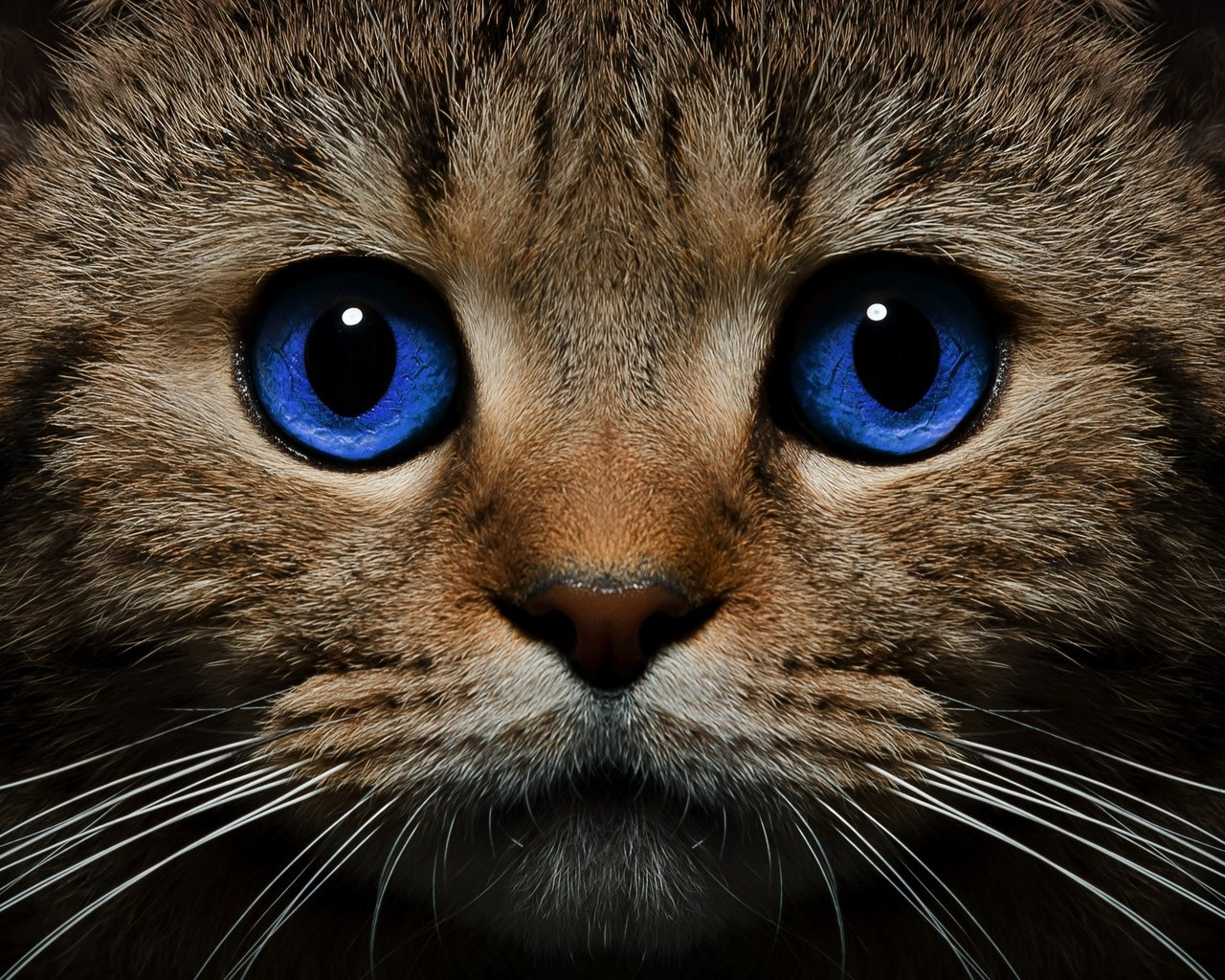 кот с синими глазами