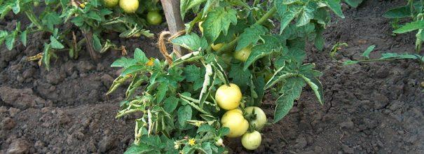 Куст помидоров