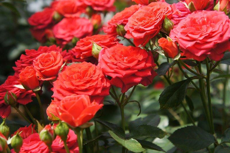Причины почему не цветет роза в саду и что делать