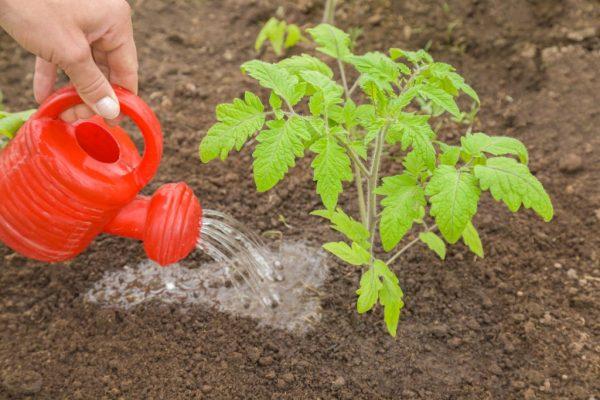 Подкормка помидоров золой
