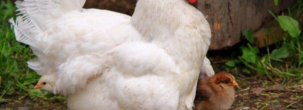 Курицы в саду