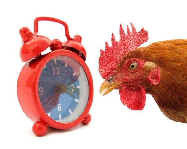 петух смотрит на будильник
