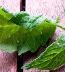 Белокрылка на листьях томатов
