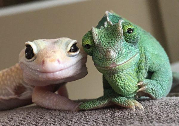 Эублефар и хамелеон