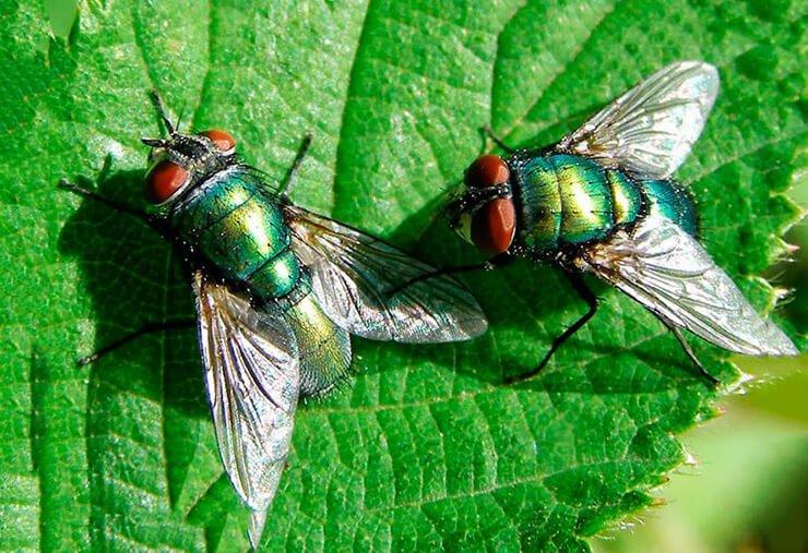 Картинки зеленая муха