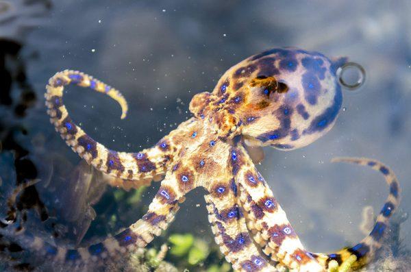 Синий кольцевидный осьминог
