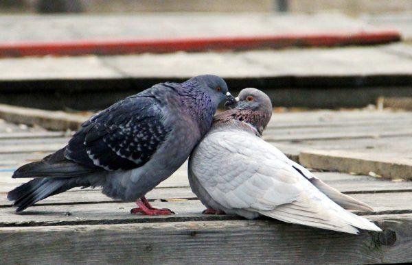 голуби милуются