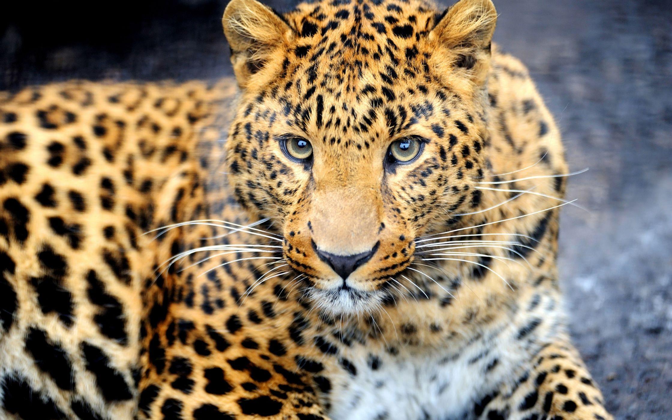фото леопарда в природе пациенты жалуются