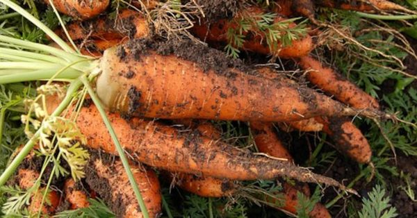 Признаки спелости моркови