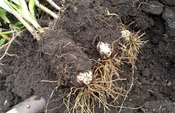 Выкапывание луковиц лилий