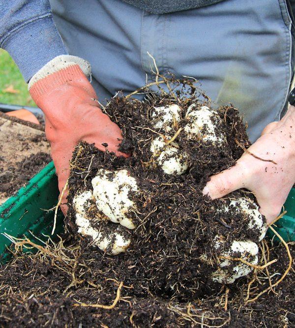 Очищение луковиц лилий от почвы