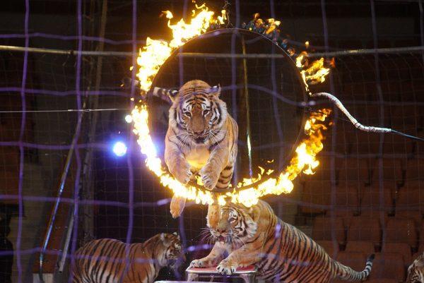 Тигр прыгает через огненное кольцо