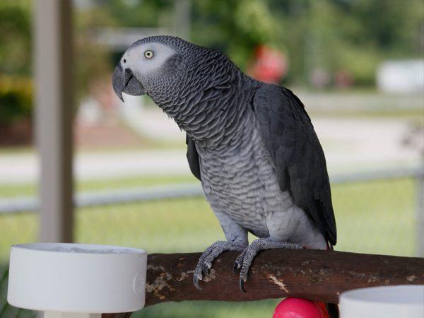 Жако попугай