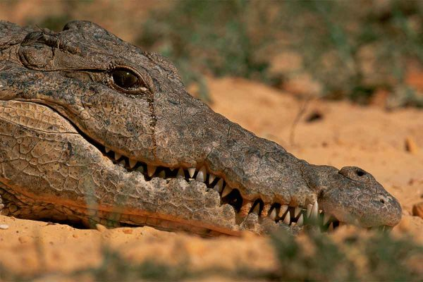 Плачущий крокодил
