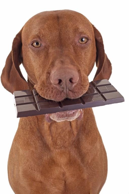 Собака с шоколадкой в зубак