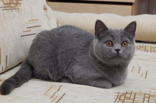 кот-британец