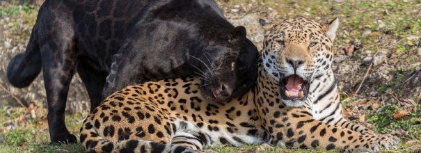Черная пантера и леопард