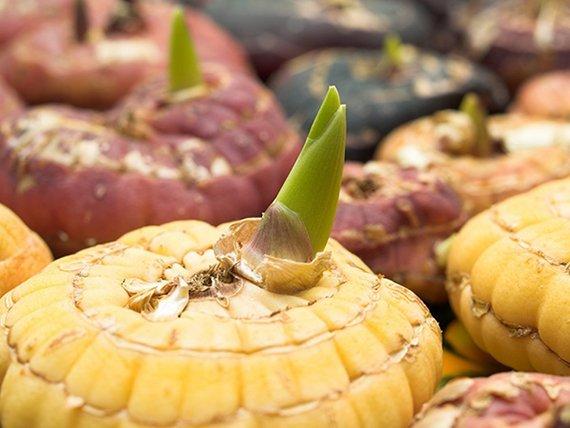 проросшие луковицы гладиолуса